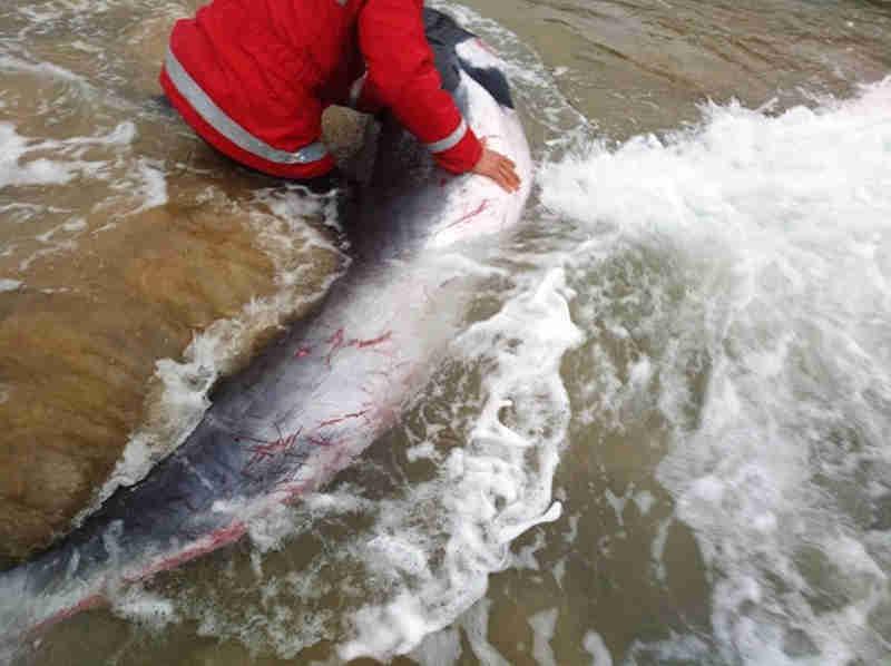 Bombeiros salvam baleia-anã que ficou presa na areia de rio em Portugal