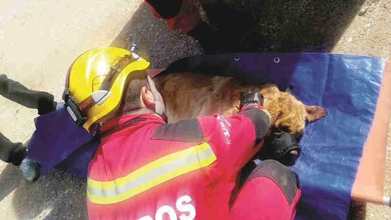 Animal, de raça Golden Retriever, foi encontrado numa praia e socorrido por uma equipa dos Bombeiros de Albufeira.