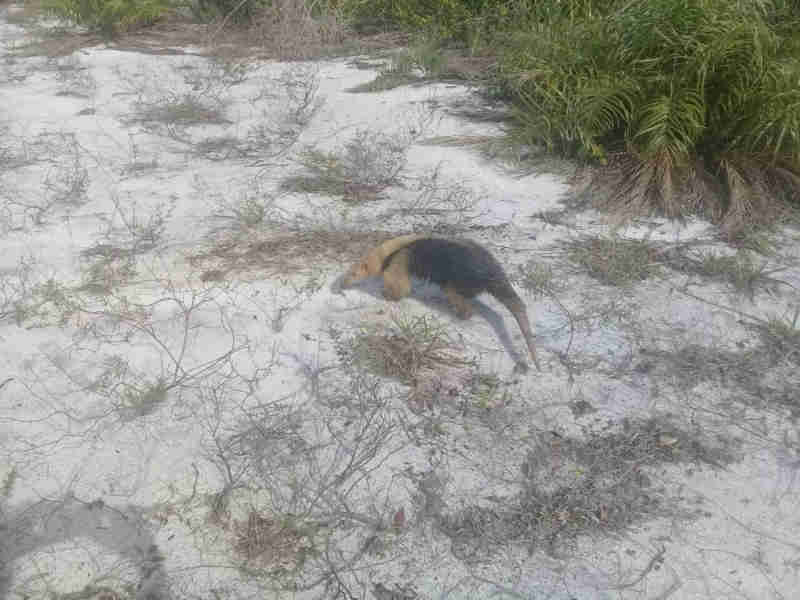 Defesa Civil de Carapebus (RJ) resgata dezenas de animais silvestres