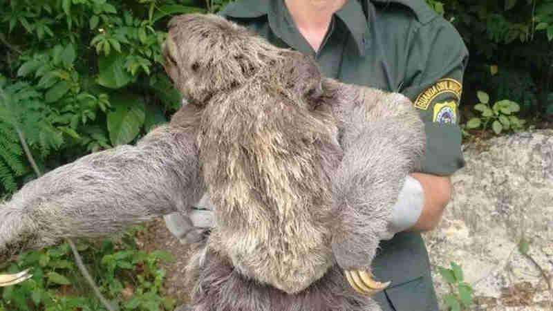 Bicho-preguiça e filhote são resgatados em Niterói, RJ
