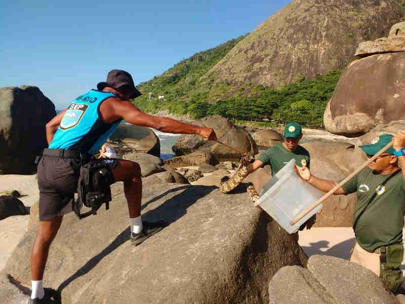 Guardas municipais resgatam jiboias na praia do Recreio e em Grumari, no RJ