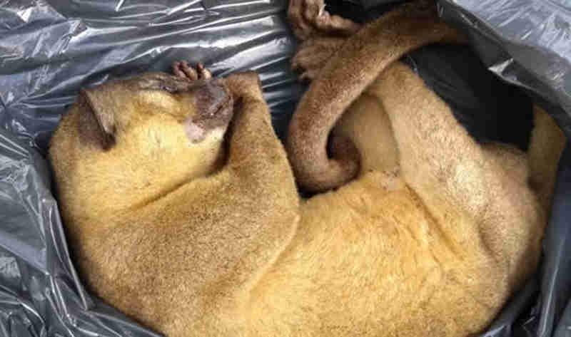 Jupará é encontrado morto no Bosque Municipal de Ouro Preto do Oeste, RO