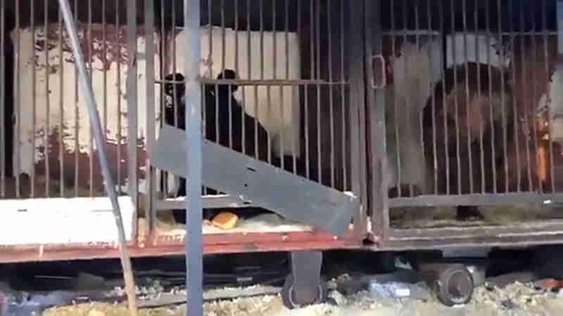 Quatro ursos doentes foram encontrados vivendo em jaulas minúsculas em um estacionamento depois de serem abandonados quando o circo faliu