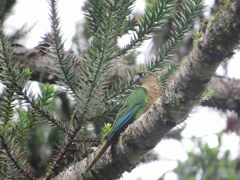 Realizada soltura de aves silvestres apreendidas em ocorrências da PMA em Canoinhas, SC
