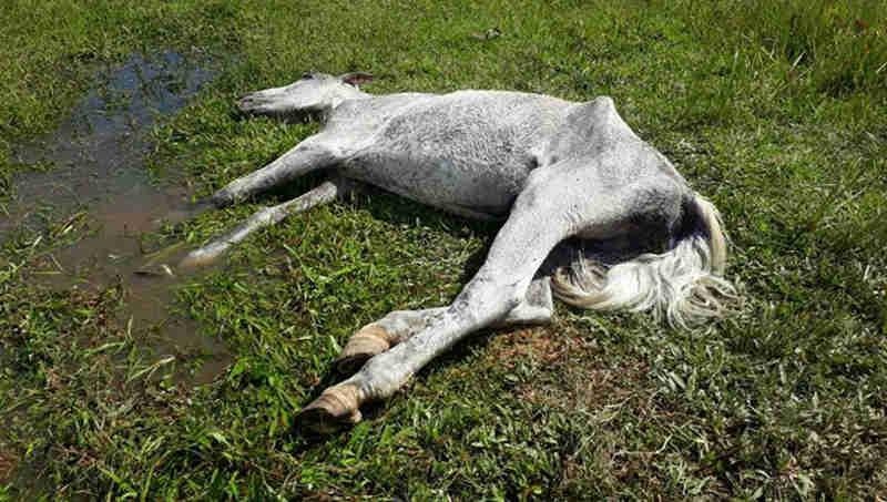 Vítima de abandono e maus-tratos, cavalo abandonado não resiste, em Itapema, SC
