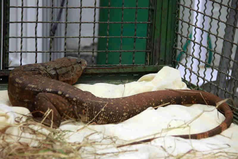 Lagarto ferido com piche retorna à natureza em Catanduva, SP