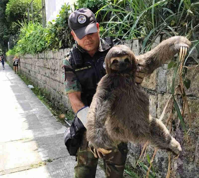 Bicho-preguiça é resgatado de avenida e devolvido à natureza em SP