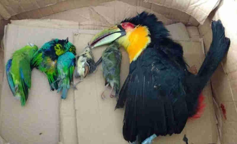 Aves silvestres são encontradas mortas em casa e suspeito é preso em SP