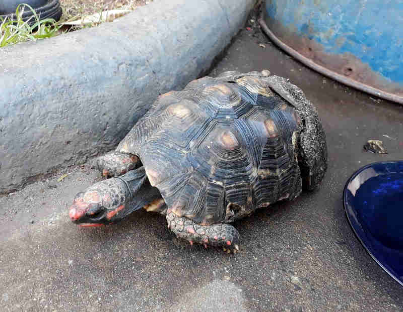 Jabuti com casco quebrado é abandonado em lata de lixo de Limeira (SP) e resgatado