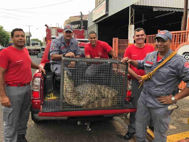 Jacaré com cerca de dois metros de comprimento deu trabalho aos bombeiros na ação de resgate. (Fotos: Corpo de Bombeiros/Divulgação)