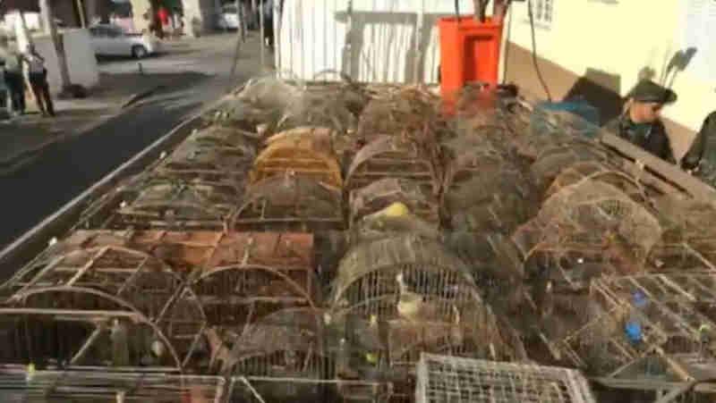 Polícia Ambiental encontra 107 aves em cativeiro e multa tutor em R$ 99 mil