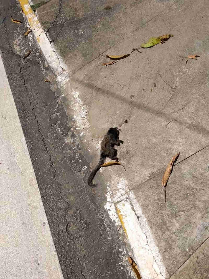 Taubaté (SP) investiga morte de três macacos na cidade