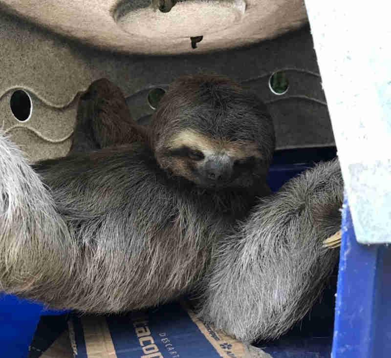 Bicho-preguiça é capturado no Ditran, em Guarujá, SP