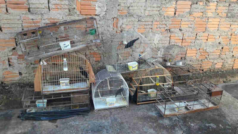 Pássaros silvestres são apreendidos pela polícia em Ilha Solteira, SP