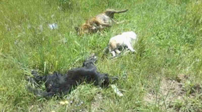 Morador chega em casa e encontra seus três cachorros de estimação mortos em Itaporanga, PB