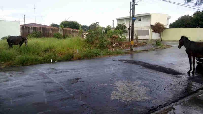 Cavalos pastam: foram abandonados durante o temporal - Crédito: Divulgação