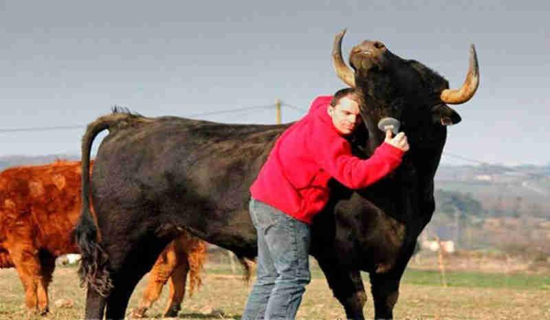 Homem salva touro de uma tourada e mostra ao mundo que o 'esporte' é cruel