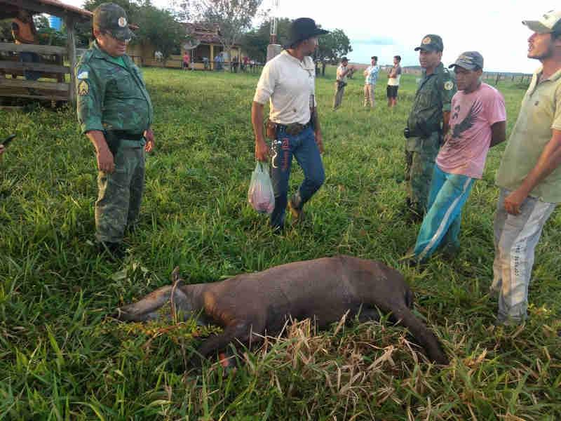 Anta vítima de caçadores é resgatada após ser encontrada com vários ferimentos
