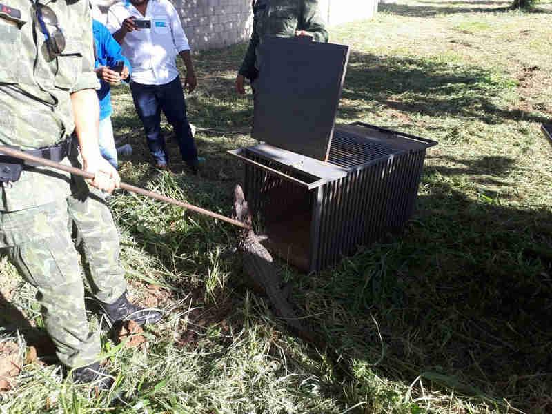 Filhote de jacaré-tinga é resgatado após passear em condomínio de Palmas, TO