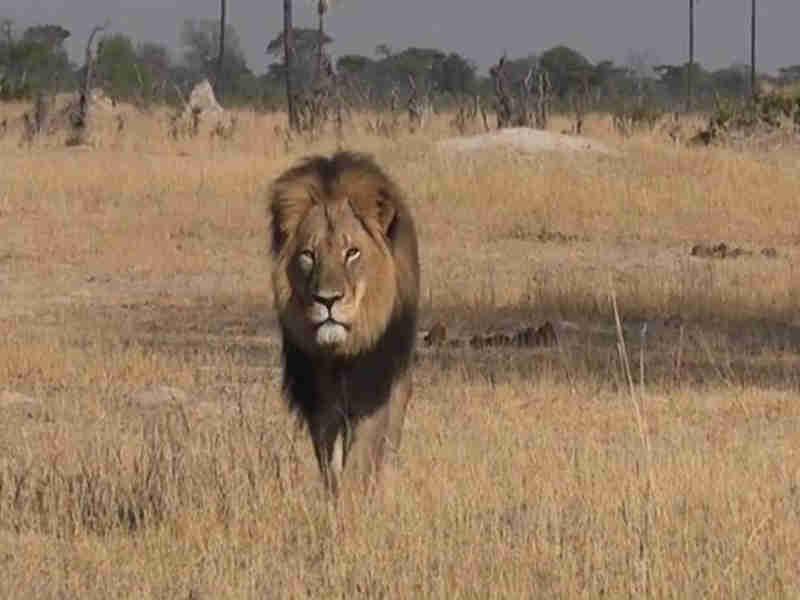 Leão Cecil sofreu pelo menos 10 horas de 'incrível crueldade' antes de morrer