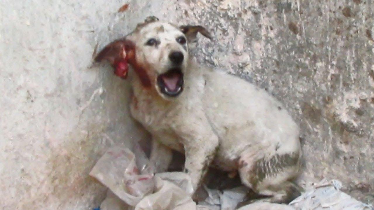 Cachorrinho abandonado gritava de dor após perder metade de sua orelha. Felizmente, estas pessoas o escutaram!