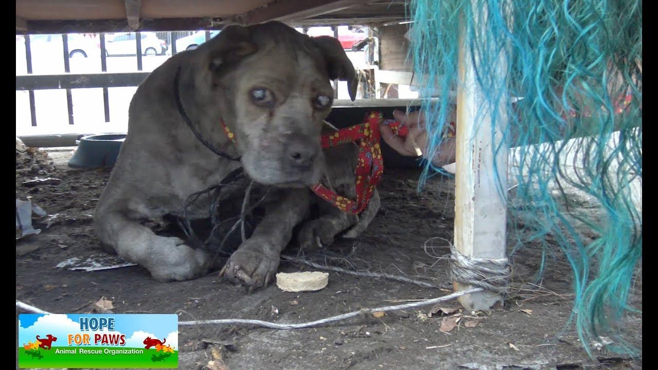 Pit Bull idoso e cego lutava para conseguir sobreviver nas ruas. Agora ele tem uma cesta de roupas quentinha para dormir!