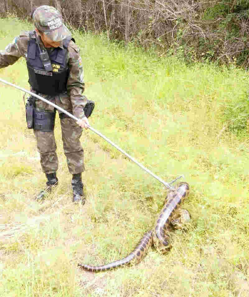 Cobra sucuri foi resgatada e solta em uma área fora do perímetro urbano, na APA do Curiaú, Zona Norte de Macapá (Foto: Batalhão Ambiental/Divulgação)