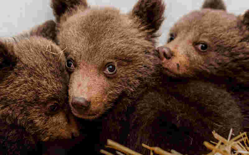 Aldeões encontram três ursos bebés a vaguear em montanhas do sul da Bulgária