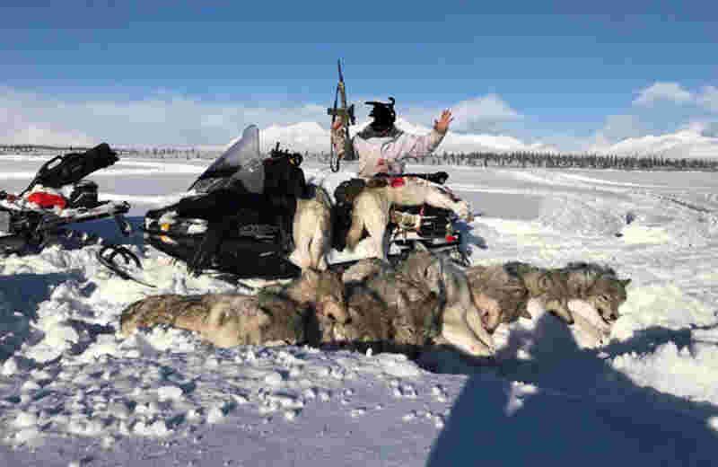 Animais foram mortos por caçador com rifle semiautomático AR15 em Denali, no Alasca. (Foto: Public Employees for Environmental Reponsability (PEER))