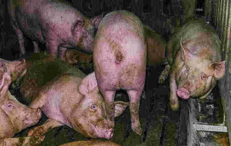 Porcos criados para produzir presunto 'Parma' eram mantidos em condições 'ilegais', revela uma filmagem secreta
