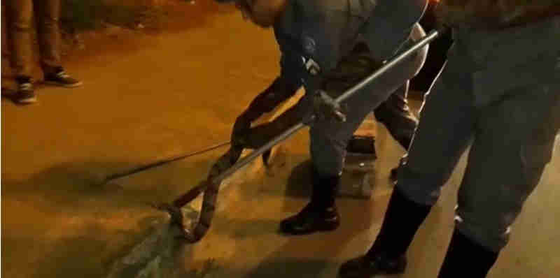 Cobra foi capturada na Avenida Governador Magalhães Pinto, no Bairro Jaraguá, em Montes Claros. (Foto: Corpo de Bombeiros/Divulgação)