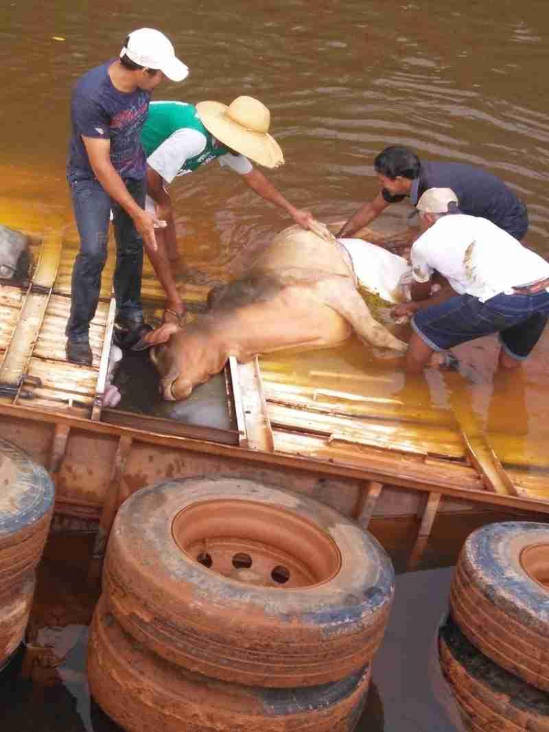 Carreta cai em rio a caminho de frigorífico e cerca de 20 bois morrem afogados em MT
