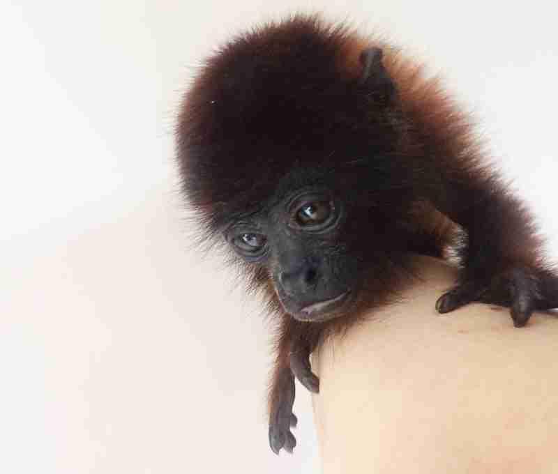 Filhote de macaco é resgatado ao ser visto do lado de mãe atropelada e morta em RO