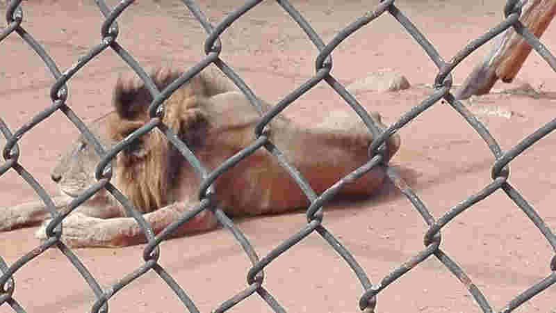 Danko, um leão faminto em um zoológico na Venezuela, é um dos animais que o ativista Raúl Juliá Levy espera evacuar em meio a escassez de alimentos fortes que afetam o país. Cedido por Lenin Danieri.