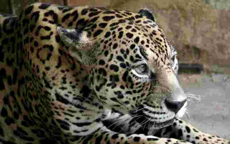 Onça é um dos animais que seguem vivendo no parque (Foto: Fundação Parque Zoobotânico/Divulgação)
