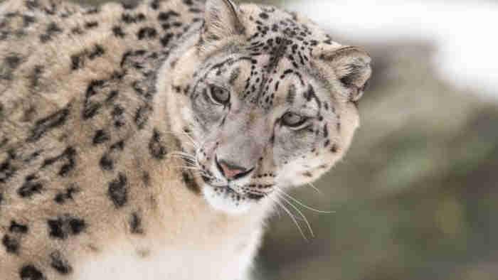 O leopardo-das-neves (Panthera uncia) Eric Kilby