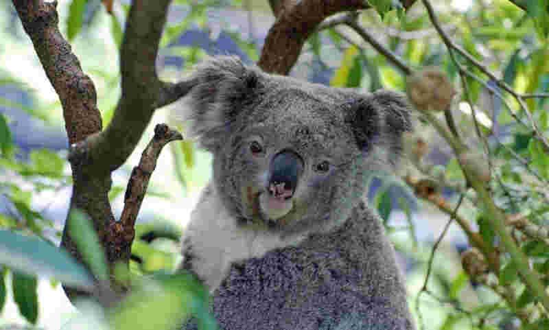Segundo Fundação Australiana dos Coalas, o país tem apenas 43 mil exemplares destes marsupiais em liberdade. (Foto: Pixabay)