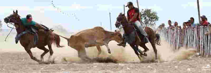 A Emenda Constitucional 96 e a volta dos rodeios, vaquejadas, a legalização da farra do boi, rinhas…