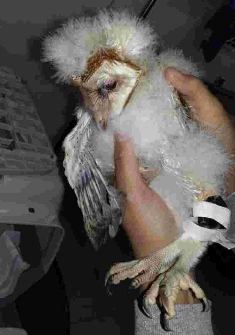 A coruja, da espécie suindara (tyto furcata), foi encontrada com a perna esquerda aparentemente quebrada - Polícia Militar/Divulgação
