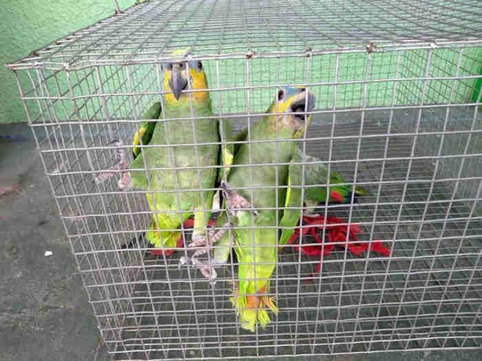Animais silvestres não podem ser mantidos em cativeiro sem permissão, lembra Batalhão Ambiental. (Fotos: Batalhão Ambiental/Divulgação)