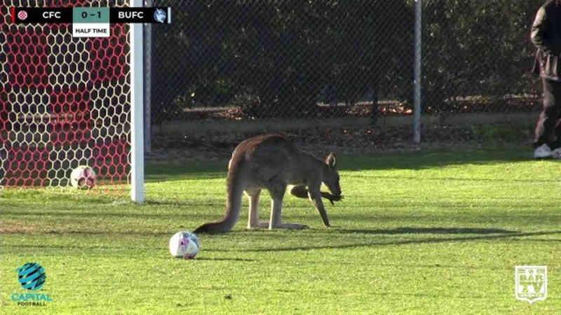 O canguru ficou cerca de meia hora dentro do campo de futebol. (Foto: SOCIAL MEDIA / BarTV Sports/Capital Football/via REUTERS)