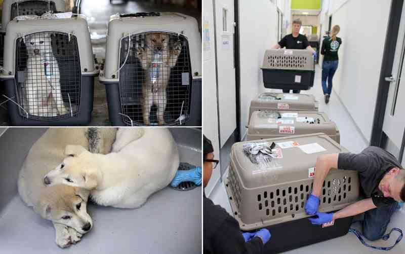 Fundação divulga o resgate de 57 cachorros de uma fazenda de carne canina em Hongseong, Coreia do Sul, em imagem de arquivo (Foto: Sammy Dallal/AP/Humane Society International)