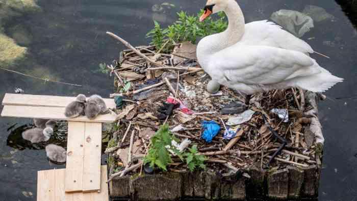 Cisne e seus filhotes são vistos no ninho feito em parte de lixo do lago perto da ponte da Rainha Louise em Copenhague - Foto: SCANPIX DENMARK / REUTERS