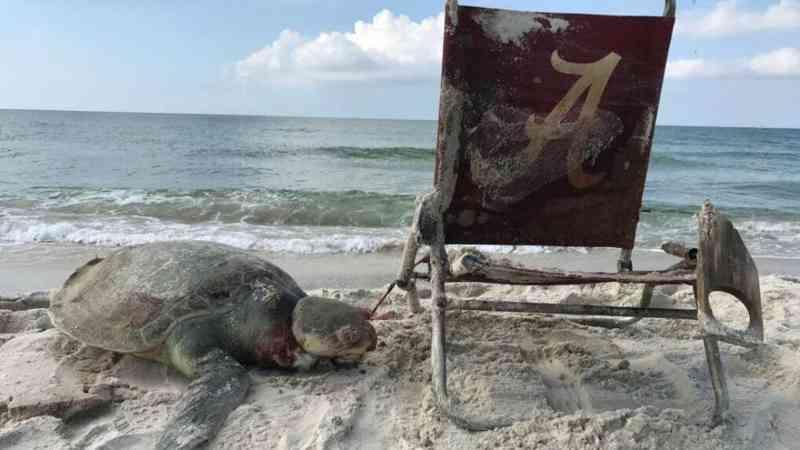 Tartaruga-marinha morre após ficar presa em cadeira descartada
