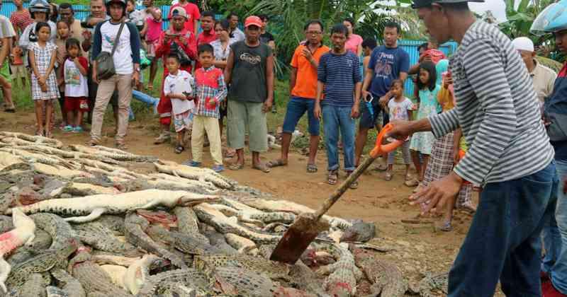 Estupidez coletiva: multidão enfurecida massacra 300 crocodilos por vingança na Indonésia