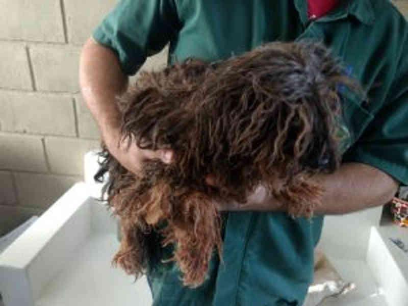 Denúncia leva polícia ambiental a resgatar cadela com tumor em situação de maus-tratos em Ituiutaba, MG