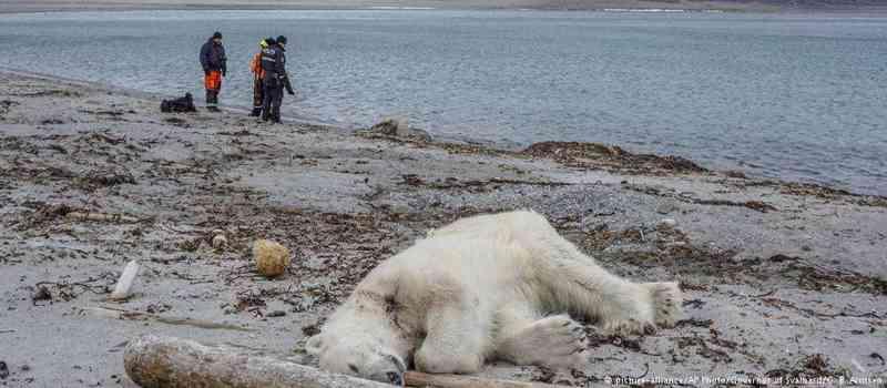 'A casa deste urso foi invadida por turistas'. Abate de urso polar na Noruega gera onda de críticas