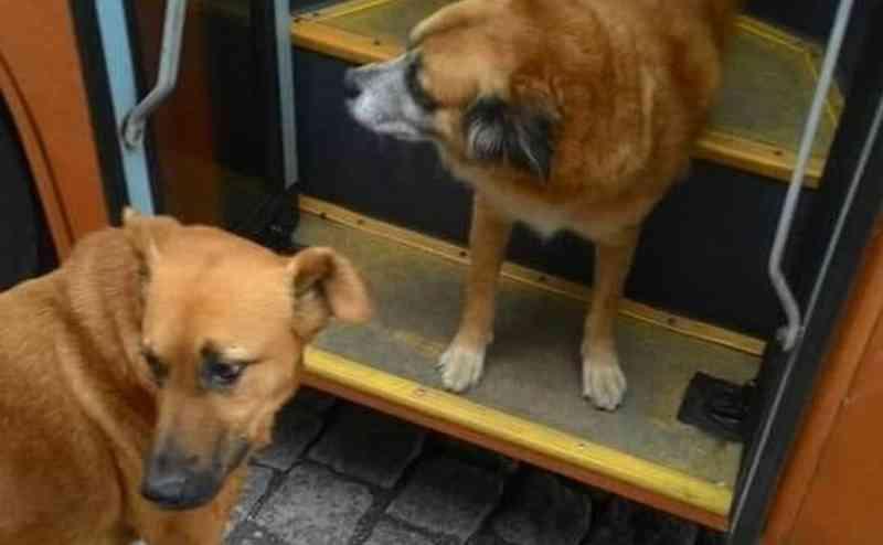 Pitoko não é o único cão comunitário que gosta de dar passeio nos ônibus da capital. Foto: Reprodução/Facebook