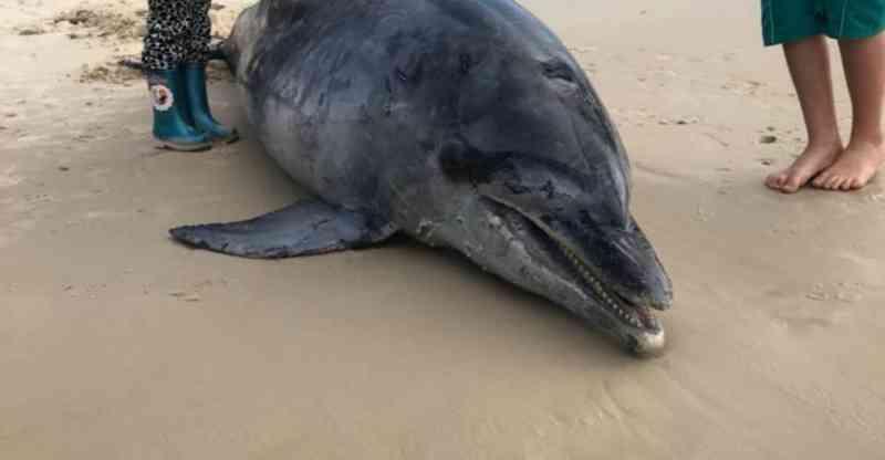 Nove animais marinhos encontrados mortos nas praias de Itapema, Porto Belo e Bombinhas, em SC