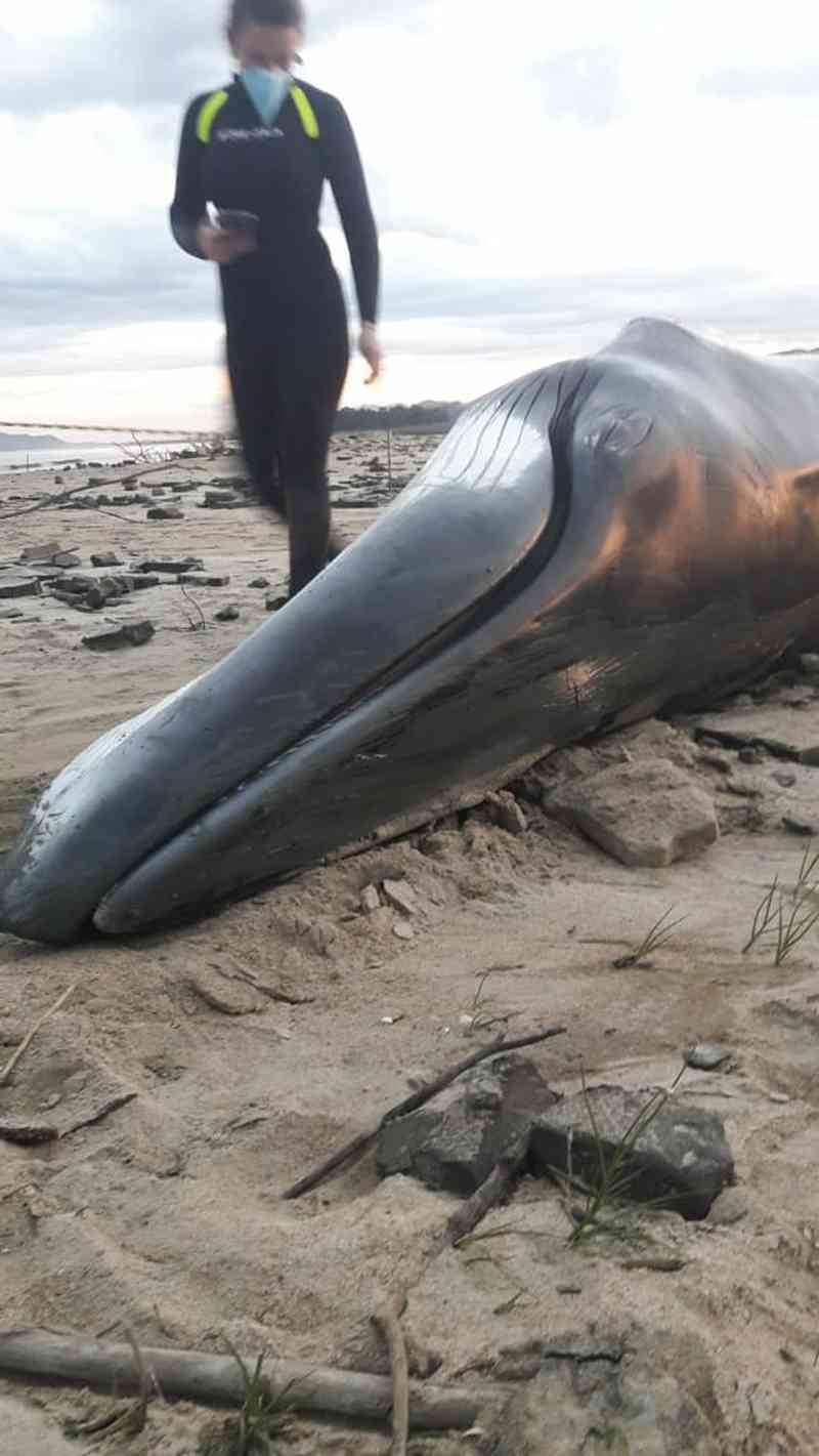Filhote de baleia minke é encontrada morta em praia de Tijucas (Foto: PMP/Divulgação)
